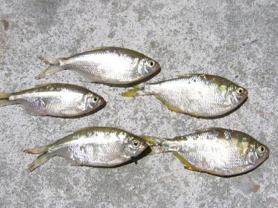 Guia basica de pesca argentina taringa for Criadero de mojarras